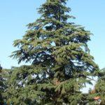 Pedrengo_cedro_nel_parco_Frizzoni