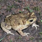 Bufo stomaticus